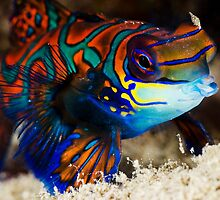 Mandarin Fish by allyazza