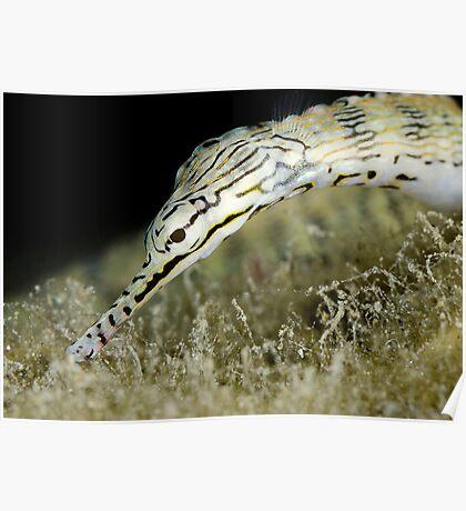 Pipefish Poster