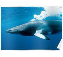 Dwarf Minke Whale - bubble blast Poster
