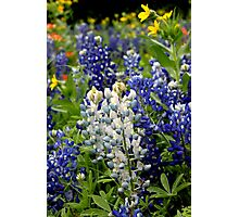 albino bluebonnet Photographic Print