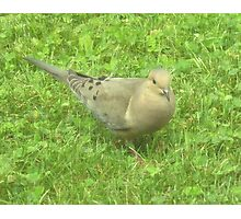Pigeon or Dove Photographic Print