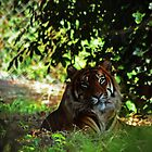 Tiger in shade by bobbykim666