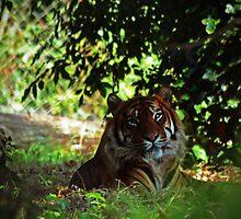 Tiger in shade by bobbykim666