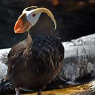Tufted puffin by bobbykim666