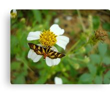 Syngamia florella:  A  DAY FLYING MICROMOTH Canvas Print