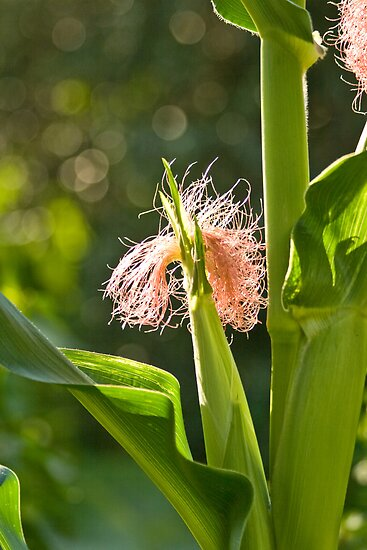 Corn Silk On The Stalk  by Kuzeytac