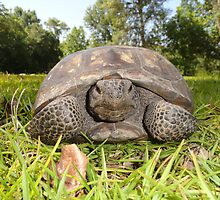 Backyard Turtle by Patricia Mills