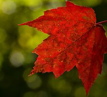 Red Maple by Megan Noble