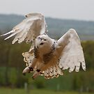 Coming in to Land - Snowy Owl by Daisy-May