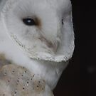 Roosting - Barn Owl by Daisy-May