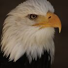 Bald Eagle  by Daisy-May