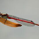 Damsel Fly by Daisy-May