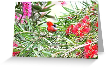 Scarlet Honeyeater by valdez