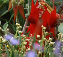Sturt's Desert Pea and friends. by myraj
