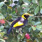 Regent bowerbird by valdez