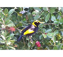 Regent bowerbird Photographic Print