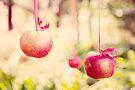 Apples by Carol Knudsen