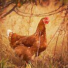 Free Range Chicken by KBritt