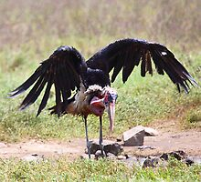 Marabou Stork Just Landing by Carole-Anne