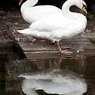 White Swans by fab2can