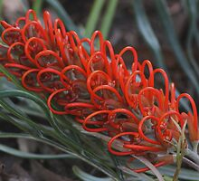 Grevillea Hybrid by andrachne