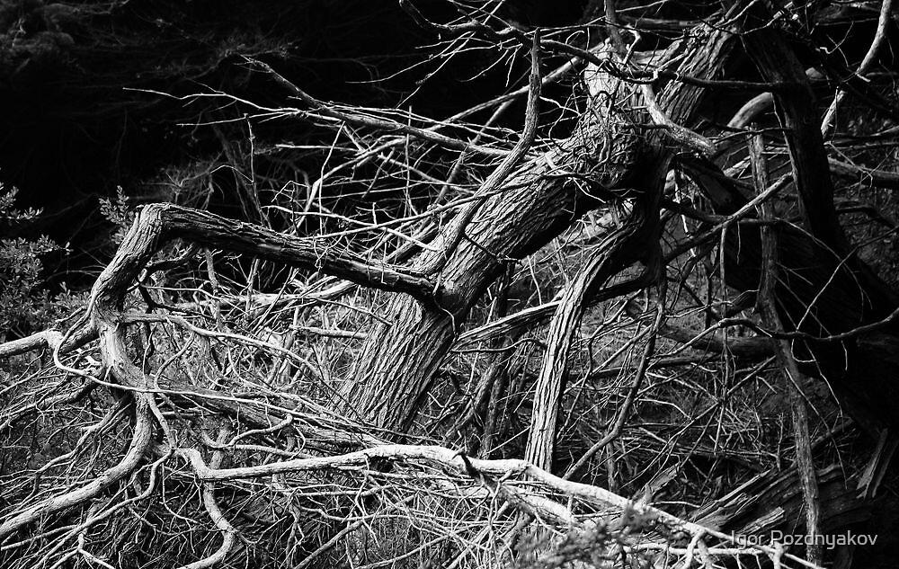 Twisted Tree. Lincoln Park, San Francisco 2012 by Igor Pozdnyakov