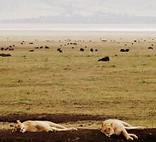 Queens Need Their Beauty Sleep ( Lionesses Napping ) by emiliewho