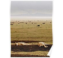 Queens Need Their Beauty Sleep ( Lionesses Napping ) Poster