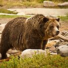 Big Daddy Grizzly by Tim Denny