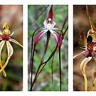 Three Native Orchids of Western Australia by Eve Parry