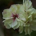 Cream Blossom by Kath Gillies