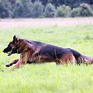 German Shepherd for calender 2013 g by Heidi Mooney-Hill