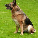 German Shepherd for calender 2013 h by Heidi Mooney-Hill