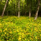Brown-Eyed Susans by CWhatIC