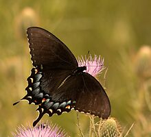 Female Eastern Tiger Swallowtail Butterfly by CWhatIC