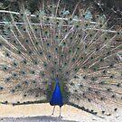 Proud Peacock by Eunice Atkins