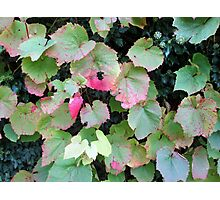 lovely coloured vine leaves Photographic Print