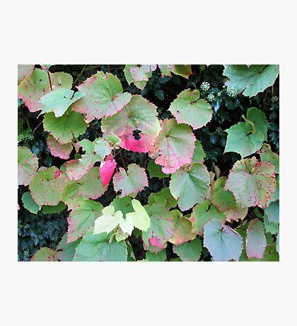 lovely coloured vine leaves Photographic Print