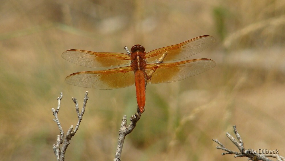 Flame Skimmer by Linda Dilbeck