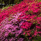 Azaleas at the Rhododendron Gardens in the Dandenongs by Kath Gillies