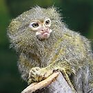 Pygmy Marmoset by Mark Hughes