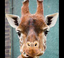 Giraffe by neilborman