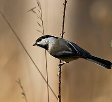 Chickadee by Michael Cummings