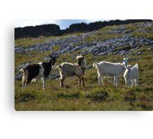 Wild goat family II Canvas Print