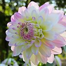 the bicolor dahlia by bubblehex08
