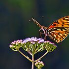 Gulf Fritillary by Lightengr