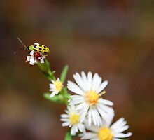 Spotted Cucumber Beetle by Melody Ricketts