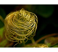 Old Mans Beard - Clematis Seed Head Photographic Print