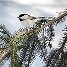 Winter Chickadee iphone case  by Elaine  Manley