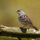White-crowned Sparrow by Bill McMullen